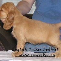 Вес и размер щенка Английского кокер спаниеля по отношению к возрасту