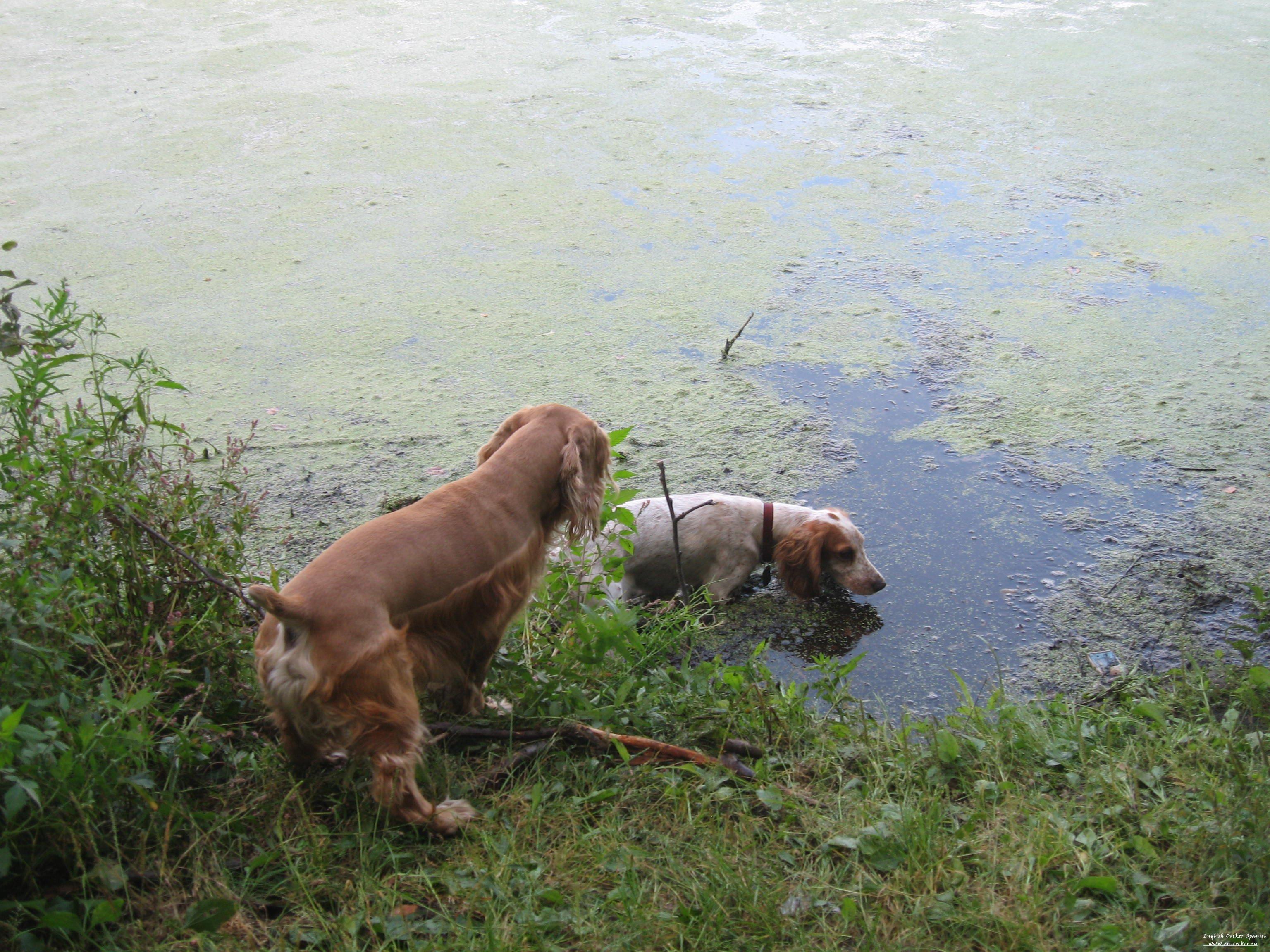картинки китайской хохлатой собаки