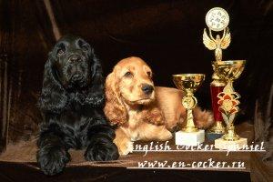 Продаются щенки английского кокер спаниеля